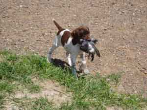 Blizzard was a 6 week old German Shorthaired Pointer puppy retrieving at Autumn Breeze Kennel