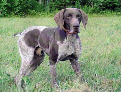 Bjorn is a German Shorthaired Pointer gun dog bred and trained at Autumn Breeze Kennel