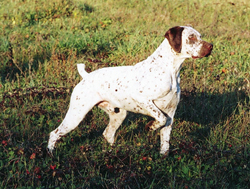 A Braque du Bourbonnais hunting dog that was trained at Autumn Breeze Kennel