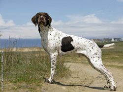 The Braque Francais resembles a Shorthair that is the size of a Brittany