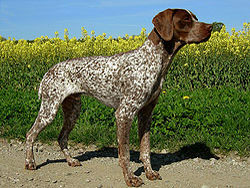 A Braque Francais hunting dog that was trained at Autumn Breeze Kennel
