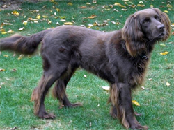 A Bracco Italino gun dog on point while training at Autumn Breeze Kennel