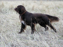 A Bracco Italiano hunting dog that was trained at Autumn Breeze Kennel