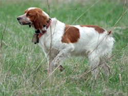 A French Brittany Spaniel hunting dog that was trained at Autumn Breeze Kennel