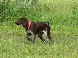 Gypsy is a German Shorthaired Pointer hunting dog that was trained at Autumn Breeze Kennel