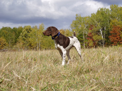 Blizzard is a German Shorthaired Pointer gun dog bred and trained at Autumn Breeze Kennel