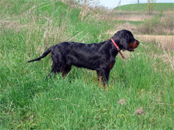 A Gordon Setter puppy gun dog on point while training at Autumn Breeze Kennel