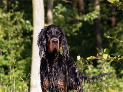 A Gordon Setter hunting dog that was trained at Autumn Breeze Kennel