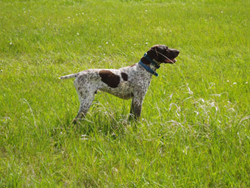 Spike is a German Shorthaired Pointer gun dog bred and trained at Autumn Breeze Kennel