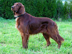 An Irish Setter puppy gun dog on point while training at Autumn Breeze Kennel