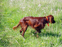 An Irish Setter hunting dog that was trained at Autumn Breeze Kennel