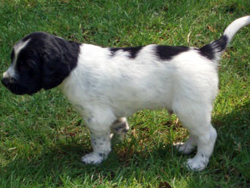 A Large Munsterlander puppy.
