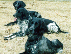A group of Large Munsterlander gun dogs.