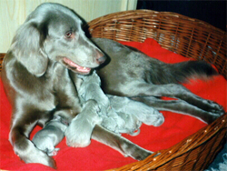 A Longhair Weimaraner with her pups.
