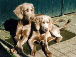 A couple of Longhair Weimaraners sunning at Autumn Breeze Kennel