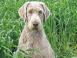 A Slovakian Rough Haired Pointer hunting dog that was trained at Autumn Breeze Kennel