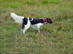 A Small Munsterlander hunting dog on point at Autumn Breeze Kennel