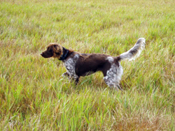 A Small Munsterlander hunting dog that was trained at Autumn Breeze Kennel