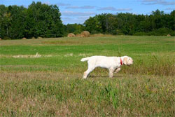 A Spinone Italiano hunting dog that was trained at Autumn Breeze Kennel