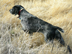 A Verein Deutsch Drahthaar hunting dog that was trained at Autumn Breeze Kennel