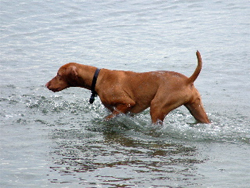 A Hungarian Vizsla gun dog on point while training at Autumn Breeze Kennel