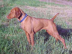 A Hungarian Vizsla hunting dog that was trained at Autumn Breeze Kennel