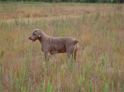 A Weimaraner hunting dog hunting in the fields at Autumn Breeze Kennel
