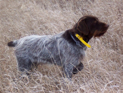 A Wirehaired Pointing Griffon on point at Autumn Breeze Kennel
