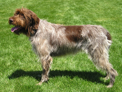 A Wirehaired Pointing Griffon hunting dog that was trained at Autumn Breeze Kennel