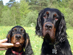 An older Gordon Setter and a younger Gordon Setter gun dog.