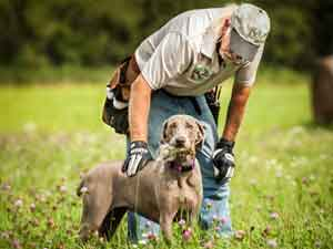 Ed Erickson training a Weimaraner at Autumn Breeze Kennel