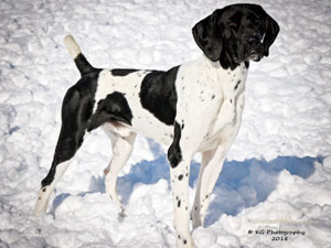 Baron is a started German Shorthair for sale