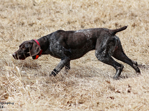 General is a male GSP stud dog at Autumn Breeze Kennel