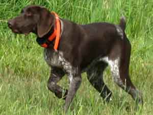 Gypsy is a German Shorthaired Retriever who was trained at Autumn Breeze Kennel