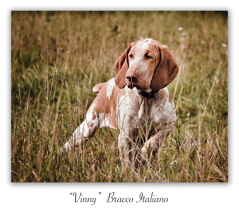 Hunting Dog Photos - Autumn Breeze Kennel