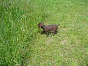 A 6-week old GSP pup pointing already at Autumn Breeze Kennel