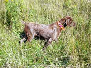 Queen is a German Shorthaired Pointer female that has been bred for some litters at Autumn Breeze Kennel