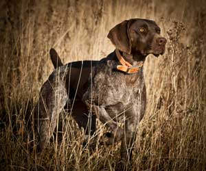 A 2 year old German Shorthaired Pointer